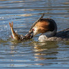 Toppdykker / Great Crested Grebe<br /> Østensjøvannet, Oslo 3.4.2015<br /> Canon 7D Mark II + Tamron 150 - 600 mm 5,0 - 6,3 @ 552 mm