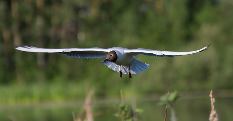 Hettemåke / Black-headed Gull<br /> Østensjøvannet, Oslo 30.5.2014<br /> Canon EOS 7D + EF 100-400 mm 4,5-5,6 L