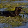 Toppand / Tufted Duck<br /> Østensjøvannet, Oslo 30.5.2014<br /> Canon EOS 7D + EF 100-400 mm 4,5-5,6 L