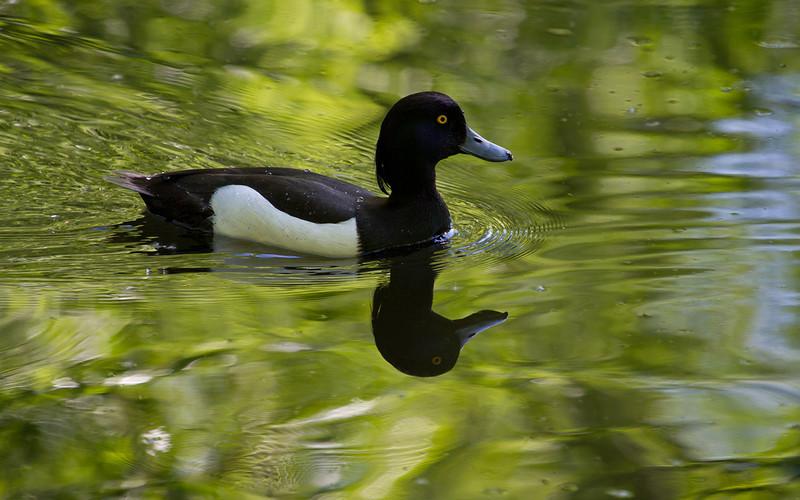 Toppand / Tufted Duck <br /> Østensjøvannet, Oslo. 27.5.2012 <br /> Canon EOS 7D + EF 100-400 mm 4,5-5,6 L