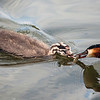 Toppdykker / Great Crested Grebe<br /> Østensjøvannet, Oslo. 30.7.2012<br /> Canon EOS 7D + EF 100-400 mm 405-5,6 L