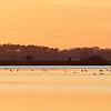 Knoppsvaner ved solnedgang / Mute Swans at sunset<br /> Krankesjön, Sverige 24.7.2018<br /> Canon 5D Mark IV + EF 500mm f/4L IS II USM + 1.4x Ext