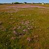 Strandnellik<br /> Morups tånge, Sverige 24.5.2009<br /> Canon EOS 20D + EF17-40mm 4.0-5.6 @ 17.0 mm