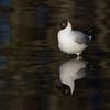 Hettemåke / Black-headed Gull<br /> Hornborgasjön, Sverige 4.4.2012<br /> Canon EOS 7D + EF 400 mm 5.6 L