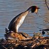 Toppdykker / Great Crested Grebe <br /> Hornborgasjön, Sverige 4.4.2012 <br /> Canon EOS 7D + EF 400 mm 5,6 L