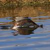 Toppdykker / Great Crested Grebe <br /> Hornborgasjön, Sverige 26.5.2006<br /> Canon EOS 20D + EF 400 mm 5,6 L