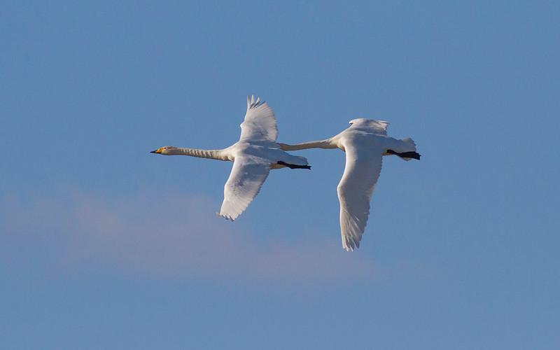 Sangsvane / Whooper Swan<br /> Hornborgasjön, Sverige 3.4.2012<br /> Canon EOS 7D + EF 400 mm 5,6 L