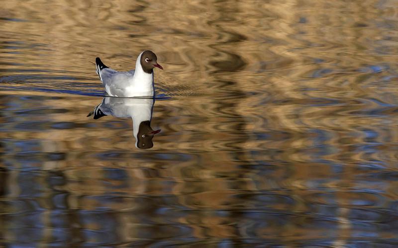 Hettemåke / Black-headed Gull<br /> Hornborgasjön, Sverige 4.4.2012<br /> Canon EOS 7D + EF 400 mm 5,6 L