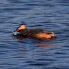Horndykker / Horned Grebe <br /> Hornborgasjön, Sverige 26.5.2006. <br /> Canon EOS 20D + EF 400 mm 5,6 L