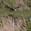 Sivhauk / Western Marsh-Harrier <br /> Tåkern, Sweden 25.5.2006<br /> Canon EOS 20D + EF 400 mm 5,6 L