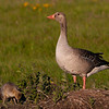 Grågås / Greylag Goose<br /> Tåkern, Sverige 25.5.2006<br /> Canon EOS 20D + EF 400 mm 5.6 L