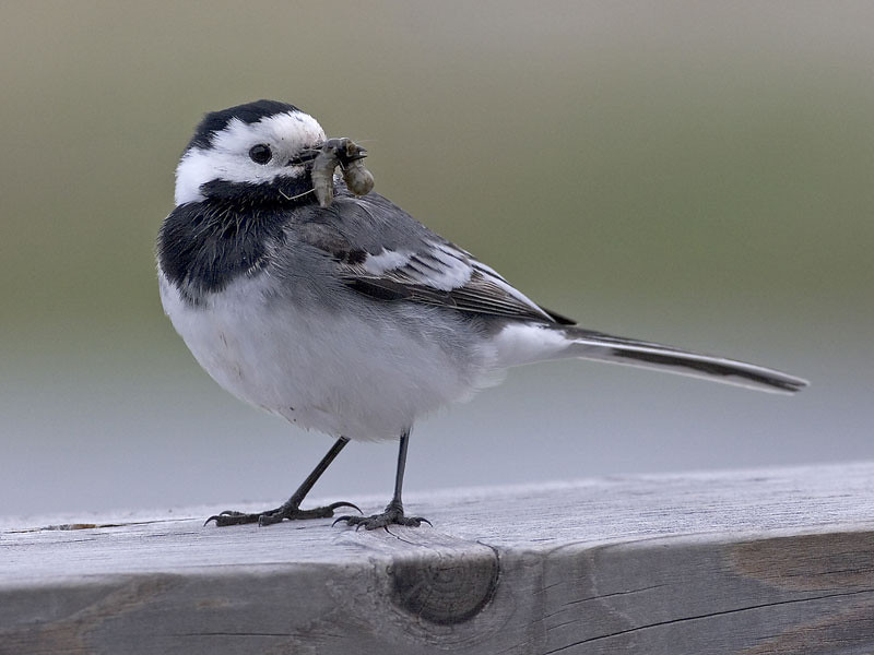 Linerle / White Wagtail <br /> Tåkern, Sverige 26.5.2006<br /> Canon EOS 20D + EF 400 mm 5,6 L