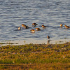 Myrsnipe / Dunlin<br /> Vadehavet, Danmark 16.7.2014<br /> Canon EOS 7D + Tamron 150 - 600 mm 5,0 - 6,3