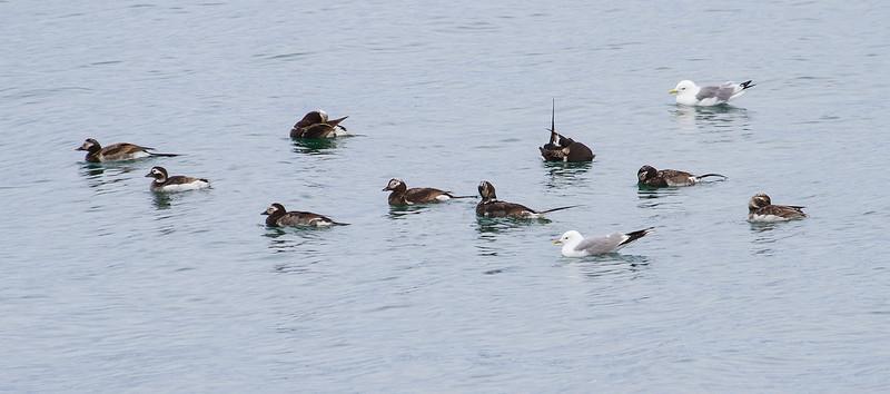 Havelle / Longtailed Duck<br /> Svartnes, Vardø 9.7.2013<br /> Canon EOS 7D + EF 100-400 mm 4,5-5,6