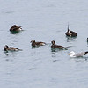Havelle / Longtailed Duck<br /> Svartnes, Vardø 9.7.2013<br /> Canon EOS 7D + EF 100-400 mm 4,5-5,6