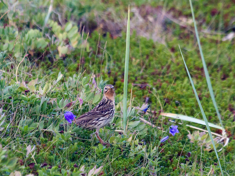 Lappiplerke / Red-throated Pipit<br /> Grense Jakobselv, 5.7.2013<br /> Canon EOS 7D + EF 100-400 mm 4,5-5,6 L