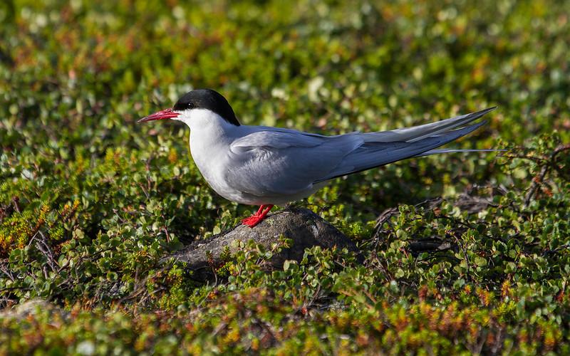Rødnebbterne / Arctic Tern<br /> Skallelv, Varanger 8.7.2013<br /> Canon EOS 7D + EF 100-400 mm 4,5-5,6 L