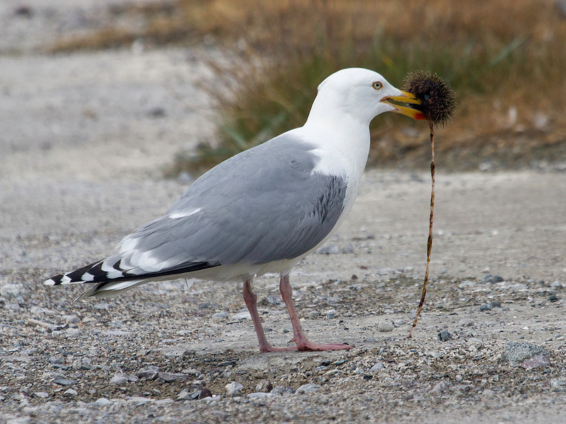 Gråmåke / Herring Gull<br /> Svartnes, Vardø 9.7.2013<br /> Canon EOS 7D + EF 100-400 mm 4,5-5,6 L