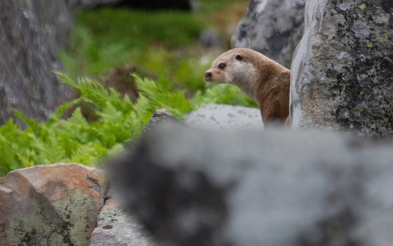 Oter / European Otter<br /> Hamningbergveien, Finnmark 9.7.2013<br /> Canon EOS 7D + EF 100-400 mm 4,5-5,6 L