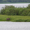 Reinsdyr / Reindeer<br /> Pasvik, Finnmark 6.7.2013<br /> Canon 7D Mark II + EF 100 - 400 4,5 - 5,6 @ 400 mm