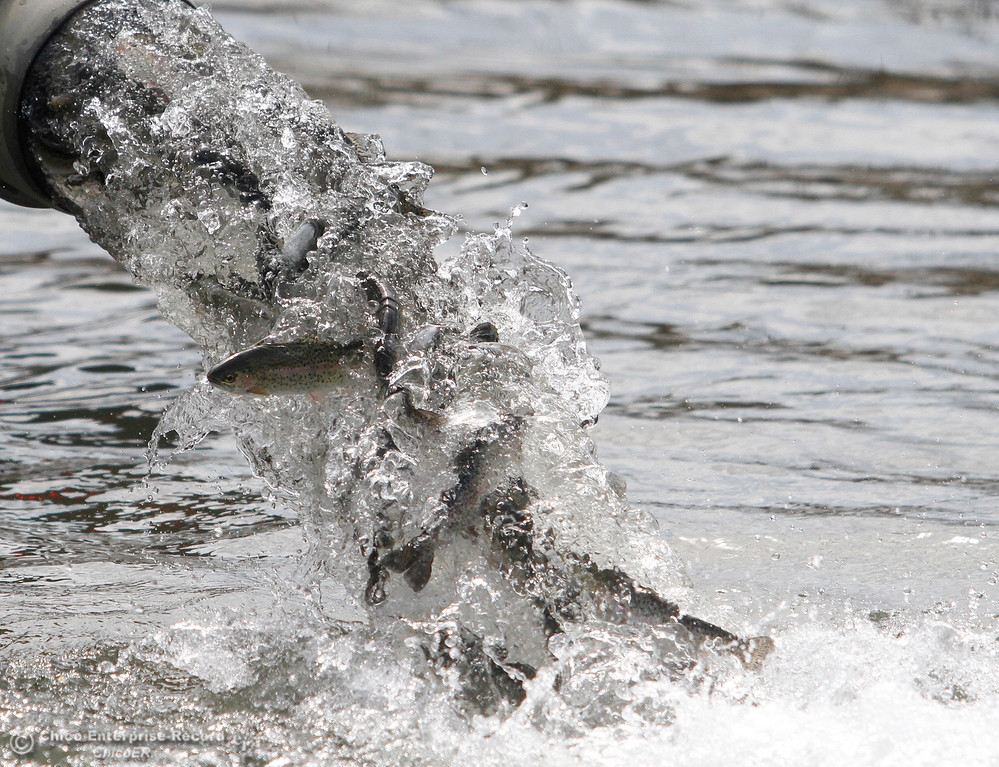 . Steelhead are released from California DFW trucks Wednesday, April 4, 2018, at the Wilbur Road Boat Launch of the Thermalito Afterbay in Oroville, California. (Dan Reidel -- Enterprise-Record)