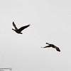 Canada geese fly Wednesday, April 4, 2018, at the Thermalito Afterbay in Oroville, California. (Dan Reidel -- Enterprise-Record)