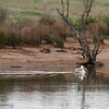 A pelican prepares to take flight Wednesday, April 4, 2018, at the Monument Hill Boat Launch of the Thermalito Afterbay in Oroville, California. (Dan Reidel -- Enterprise-Record)