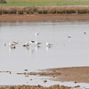 Seagulls in the water Wednesday, April 4, 2018, at the Wilbur Road Boat Launch of the Thermalito Afterbay in Oroville, California. (Dan Reidel -- Enterprise-Record)