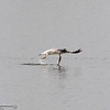 A seagull tries to fly with a small fish that is too big for the bird Wednesday, April 4, 2018, at the Monument Hill Boat Launch of the Thermalito Afterbay in Oroville, California. (Dan Reidel -- Enterprise-Record)
