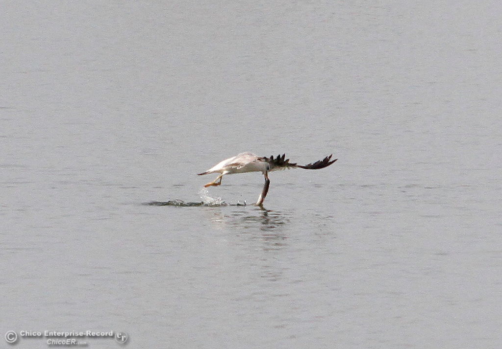 . A seagull tries to fly with a small fish that is too big for the bird Wednesday, April 4, 2018, at the Monument Hill Boat Launch of the Thermalito Afterbay in Oroville, California. (Dan Reidel -- Enterprise-Record)