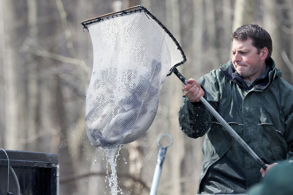 . Jonathan Tressler � The News-Herald <br> Lake Metroparks Natural Resource Manager Tom Koritansky hefts a net full of steelhead into a tank on the back of a Pug UTV before the fish get stocked into Paine Creek at Indian Point Park April 13 during the park system�s annual trout-stocking event.