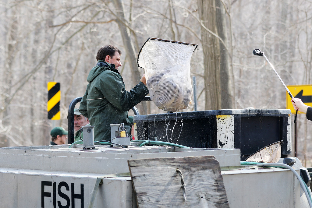 . Jonathan Tressler � The News-Herald <br> Lake Metroparks Natural Resource Manager Tom Koritansky lifts a net full of steelhead inyto a portable tank for transport to various spots along Paine Creek at Indian Point Park in Leroy township April 13.