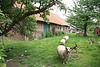 Steendorp - restant van oude boerderij in Gelaagstraat.  Op de plaats waar de schapen lopen is ondertussen een huis gebouwd.