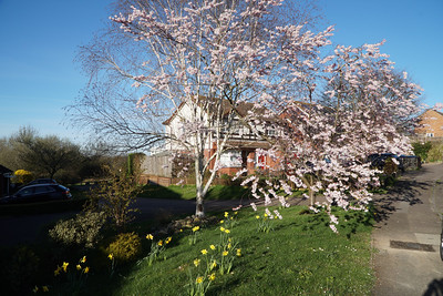 Steeple Claydon in Blossom