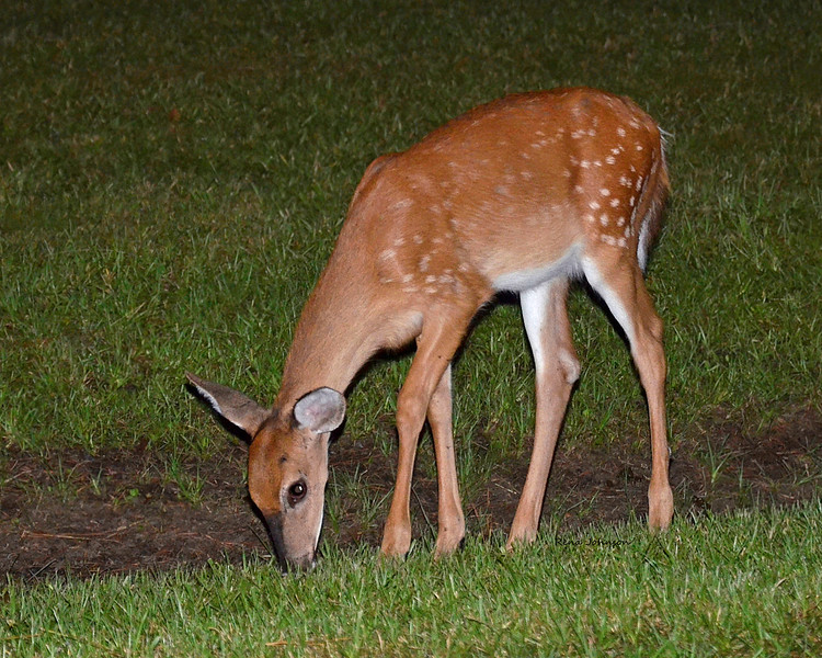 Nighttime Visitor  Stephen C Foster State Park Okefenokee