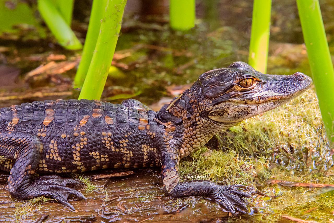 Baby Gator Okefenokee Swamp