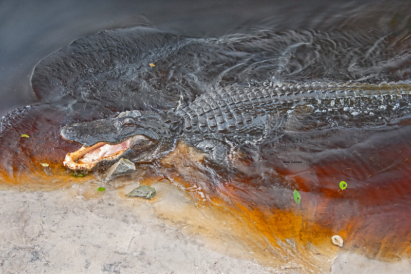 Happy Gator Okefenokee Swamp