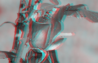 Stereo Anaglyph Photographs of Flowers with a Nikon D60 Camera