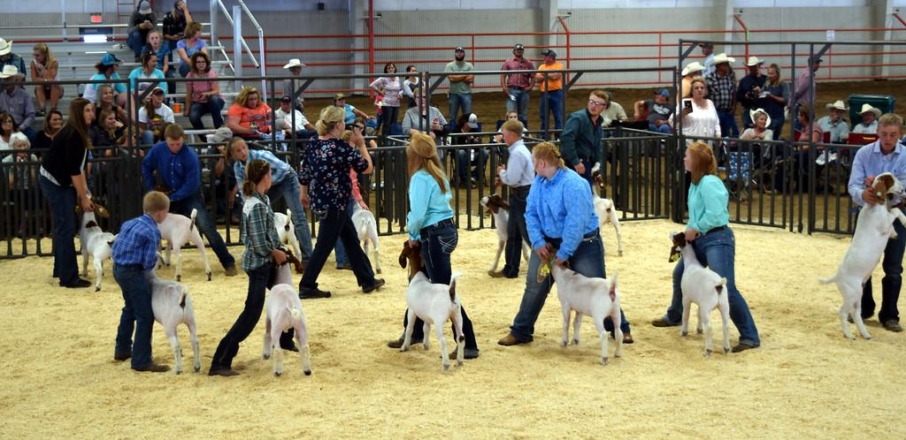 . Lightweight contest Logan County Fair Junior Goat Show Wednesday, Aug. 8, 2018.