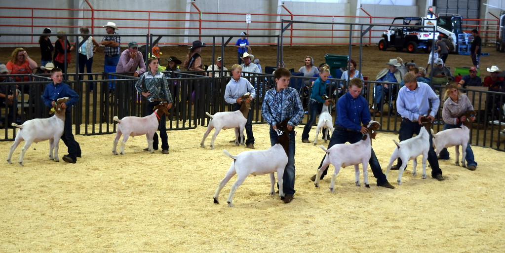 . Competitors in the contest for Grand Champion and Reserve Champion Market Goat keep hold of their animals while watching the judge during the Logan County Fair Junior Goat Show Wednesday, Aug. 8, 2018.