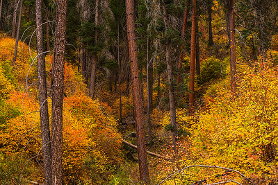 Autumn hued maples in a forested canyon along the Sterling Pass Trail
