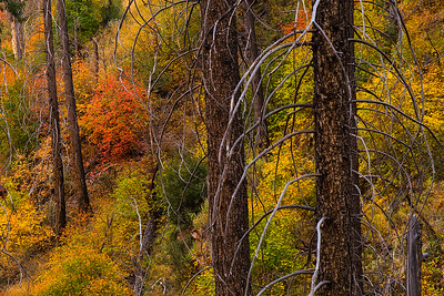 Autumn hued maples in a burn area along the Sterling Pass Trail