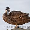 Pacific Black Duck 19b