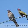Australian Figbird 19a
