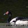 Magpie Goose 19c