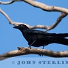 Torresian Crow 19a