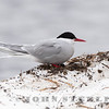 Arctic Tern, Barrow, AK; June 2019