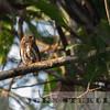 Amazonian Pygmy Owl