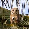 Common Barn-Owl