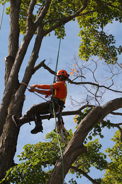 2015 09 30 Taking the Maple Tree Down 63